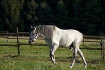 White Horse on field run free von anja-juli
