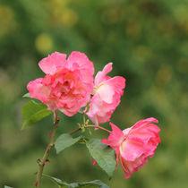Wildrose Rose rosa pink by Sandra Fried