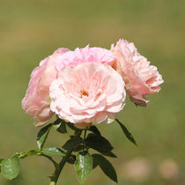 Rosa Wildrose by Sandra Fried