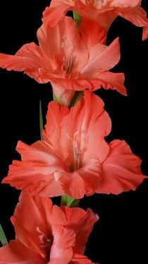 a pink gladiola by feiermar
