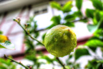 Lemon Tree by mario-s
