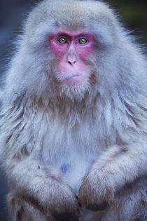 Japanese snow monkey sitting at hot spring in Jigokudani Park von Sara Winter