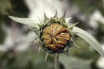 Sunflower-closed-lg-2