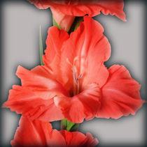 gladiola in pastel tones by feiermar