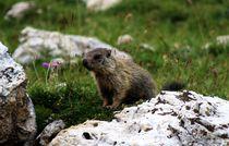 A Cute Marmot by Philipp Tillmann