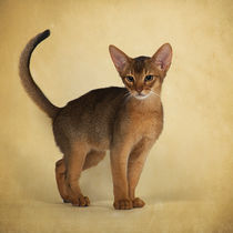 Abessinier Kitten / 16 von Heidi Bollich