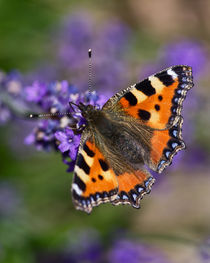 Small Tortoiseshell by Pete Hemington