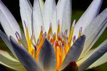Indische Lotusblume 2 von Bernhard Kaiser