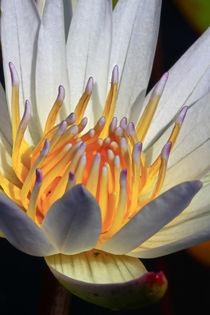 Indische Lotusblume von Bernhard Kaiser