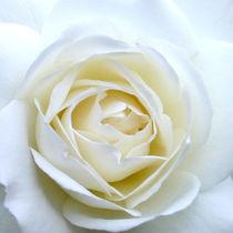Blütenweiß von Stefanie Fladausch