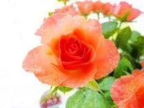Rose on Texture von Robert Gipson