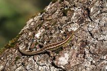 Zauneidechse, Männchen von Anja  Bagunk