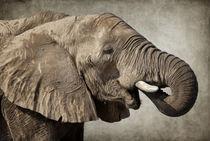 Afrikanischer-elefant