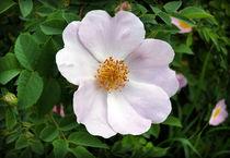 pinkish white von feiermar