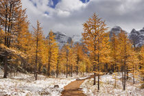 Larch trees in fall after first snow, Banff NP, Canada von Sara Winter