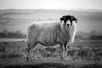 An Exmoor sheep. by David Hare