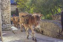 Mules von Bikram Pratap Singh
