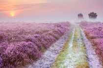 Path through blooming heather and fog, sunrise, Hilversum, The Netherlands by Sara Winter