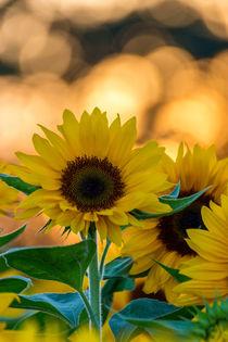 Sonnenblume von Dennis Stracke