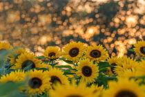 Sonnenblumenfeld by Dennis Stracke