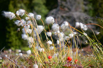 Cottonsedge with Cloudberries von Thomas Matzl