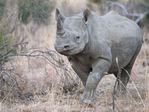 Black rhino approaching camera by Yolande  van Niekerk