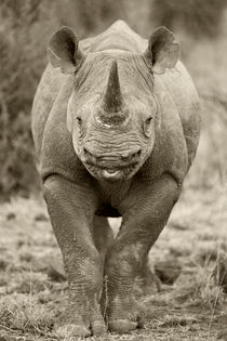 Wild Black rhino in Black and White by Yolande  van Niekerk