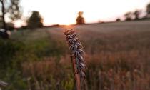 goldenes Getreide von kolkisfan