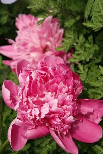 Rosa Blüte by kolkisfan