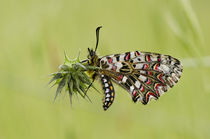 Spanish Festoon, butterfly, Zerynthia rumina, von Perry  van Munster