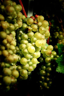 Chardonnay grapevines by Perry  van Munster