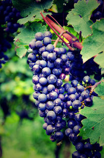 Chardonnay grape cluster by Perry  van Munster