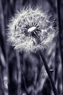 Bw-dandelion
