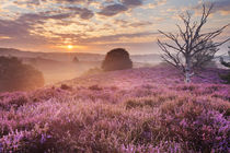 Blooming heather at sunrise, Posbank, The Netherlands von Sara Winter