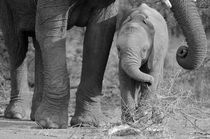 Close up of baby Elephant feeding next to mother in B&W by Yolande  van Niekerk