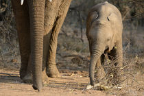Baby elephant feeding with trunk parallaling mother's von Yolande  van Niekerk