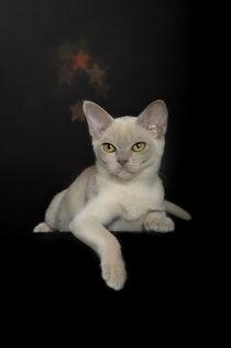 Burma Kitten / 4 by Heidi Bollich