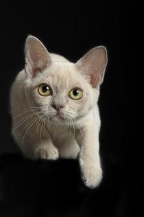 Burma Kitten / 5 von Heidi Bollich
