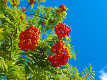 Rowan tree  with red berries by Robert Gipson