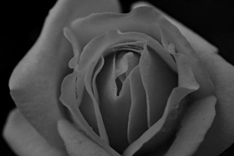 Rose-gelb-2015-001sw