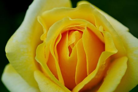 Rose-gelb-2015-002b