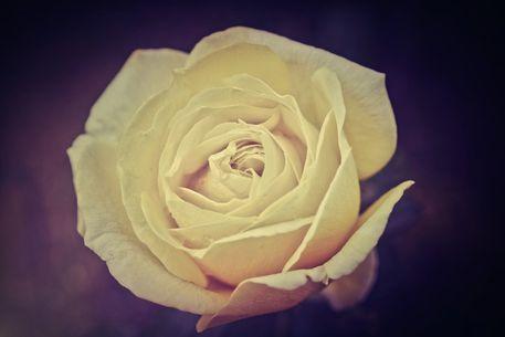 Rosen-gelb-2015-003c