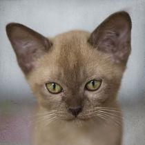 Burma Kitten / 6 by Heidi Bollich