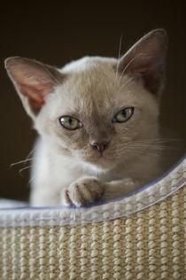 Burma Kitten / 11 von Heidi Bollich