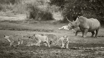 Mother Rhino scaring off Lions, B&W by Yolande  van Niekerk