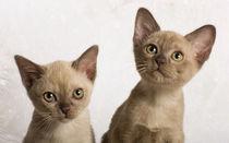 Burma Kittens / 1 von Heidi Bollich