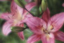 Lily flowers by Alexander Kurlovich