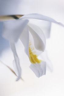 Coelogyne cristata flower von Alexander Kurlovich