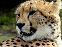Gepard by moyo