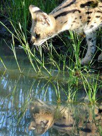 Serval mit Spiegelbild by moyo